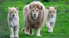 white-lions-wallpaper-2