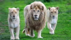 white-lions-wallpaper-2