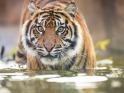 sumatran-tiger-wz-gsmp-m